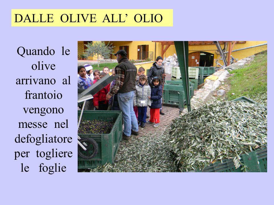 Quando le olive arrivano al frantoio vengono messe nel defogliatore per togliere le foglie DALLE OLIVE ALL' OLIO