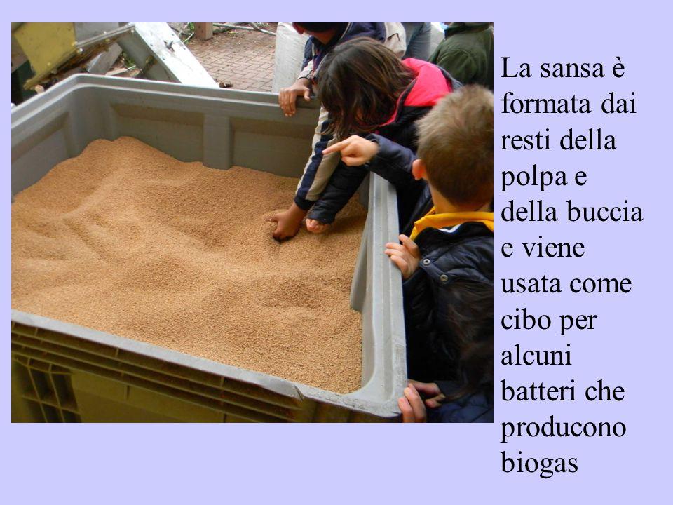La sansa è formata dai resti della polpa e della buccia e viene usata come cibo per alcuni batteri che producono biogas