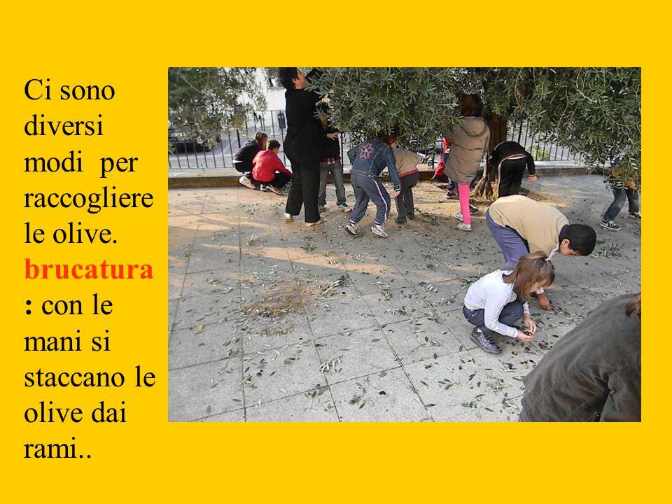 Ci sono diversi modi per raccogliere le olive. brucatura : con le mani si staccano le olive dai rami..