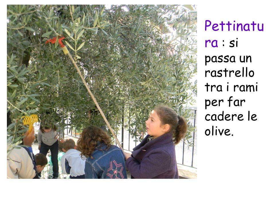 Pettinatu ra : si passa un rastrello tra i rami per far cadere le olive.