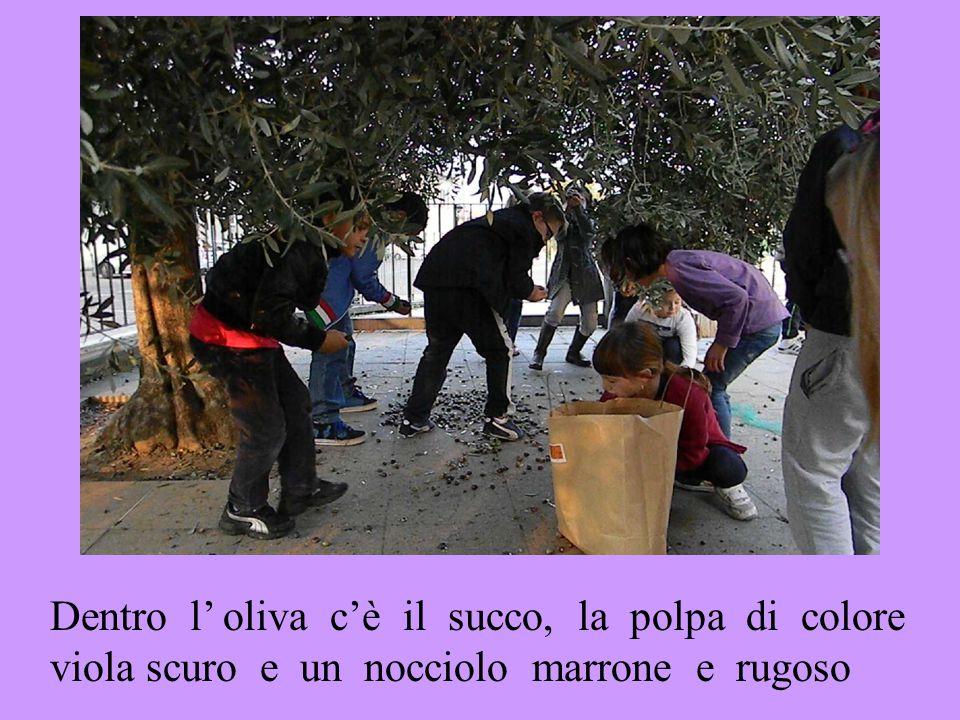Dentro l' oliva c'è il succo, la polpa di colore viola scuro e un nocciolo marrone e rugoso