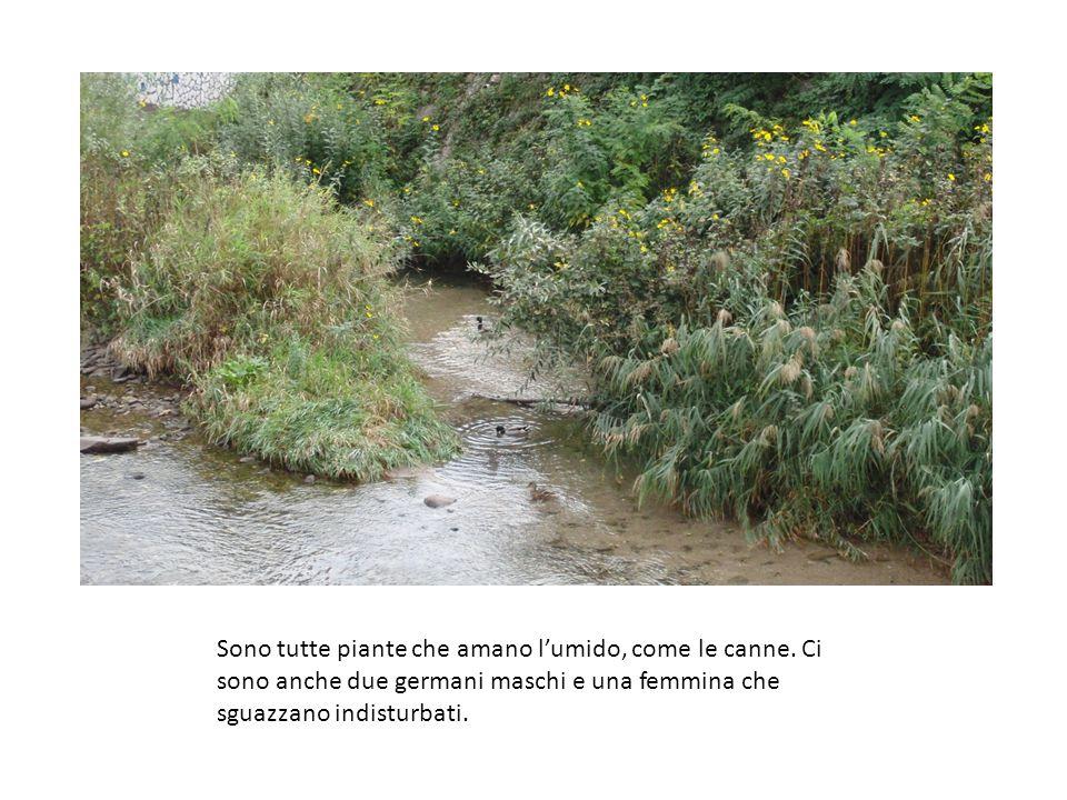 Sono tutte piante che amano l'umido, come le canne. Ci sono anche due germani maschi e una femmina che sguazzano indisturbati.