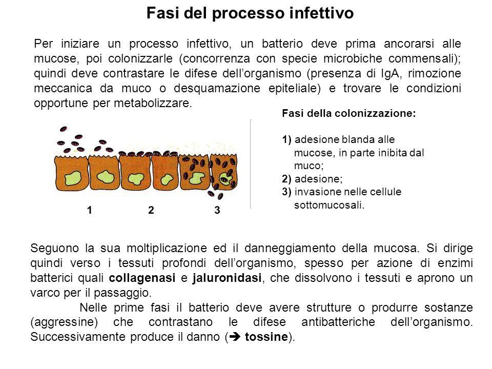 Per iniziare un processo infettivo, un batterio deve prima ancorarsi alle mucose, poi colonizzarle (concorrenza con specie microbiche commensali); qui