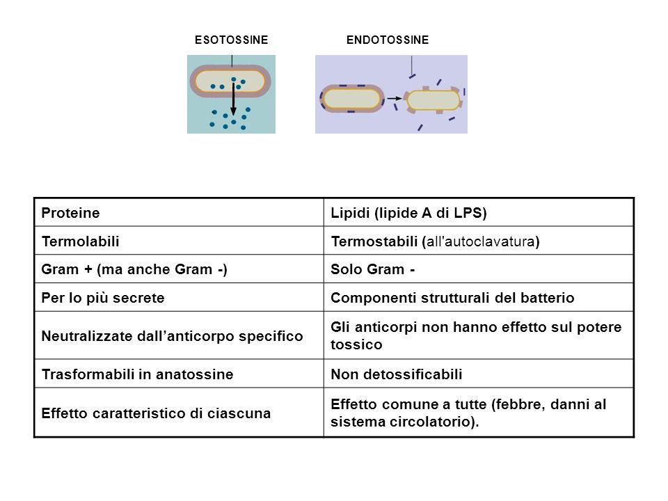 ESOTOSSINEENDOTOSSINE ProteineLipidi (lipide A di LPS) TermolabiliTermostabili (all autoclavatura) Gram + (ma anche Gram -)Solo Gram - Per lo più secreteComponenti strutturali del batterio Neutralizzate dall'anticorpo specifico Gli anticorpi non hanno effetto sul potere tossico Trasformabili in anatossineNon detossificabili Effetto caratteristico di ciascuna Effetto comune a tutte (febbre, danni al sistema circolatorio).