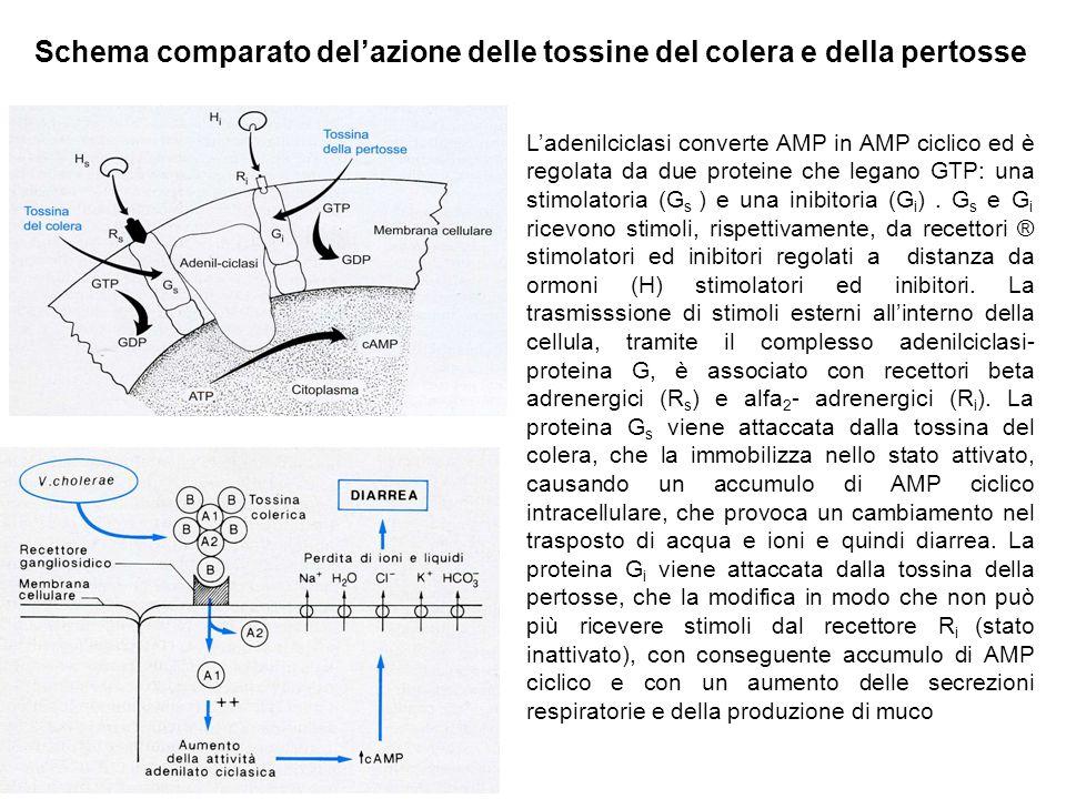 Schema comparato del'azione delle tossine del colera e della pertosse L'adenilciclasi converte AMP in AMP ciclico ed è regolata da due proteine che legano GTP: una stimolatoria (G s ) e una inibitoria (G i ).