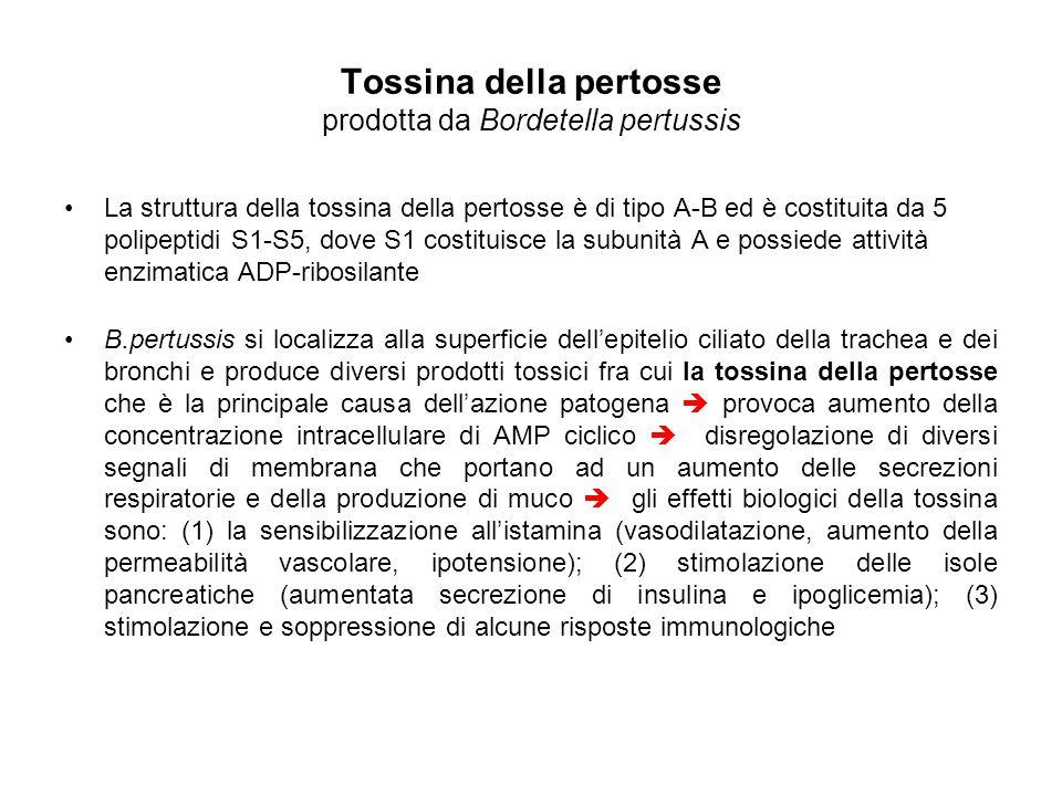 Tossina della pertosse prodotta da Bordetella pertussis La struttura della tossina della pertosse è di tipo A-B ed è costituita da 5 polipeptidi S1-S5, dove S1 costituisce la subunità A e possiede attività enzimatica ADP-ribosilante B.pertussis si localizza alla superficie dell'epitelio ciliato della trachea e dei bronchi e produce diversi prodotti tossici fra cui la tossina della pertosse che è la principale causa dell'azione patogena  provoca aumento della concentrazione intracellulare di AMP ciclico  disregolazione di diversi segnali di membrana che portano ad un aumento delle secrezioni respiratorie e della produzione di muco  gli effetti biologici della tossina sono: (1) la sensibilizzazione all'istamina (vasodilatazione, aumento della permeabilità vascolare, ipotensione); (2) stimolazione delle isole pancreatiche (aumentata secrezione di insulina e ipoglicemia); (3) stimolazione e soppressione di alcune risposte immunologiche