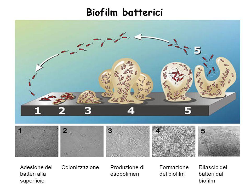 Biofilm batterici Adesione dei batteri alla superficie ColonizzazioneProduzione di esopolimeri Formazione del biofilm Rilascio dei batteri dal biofilm
