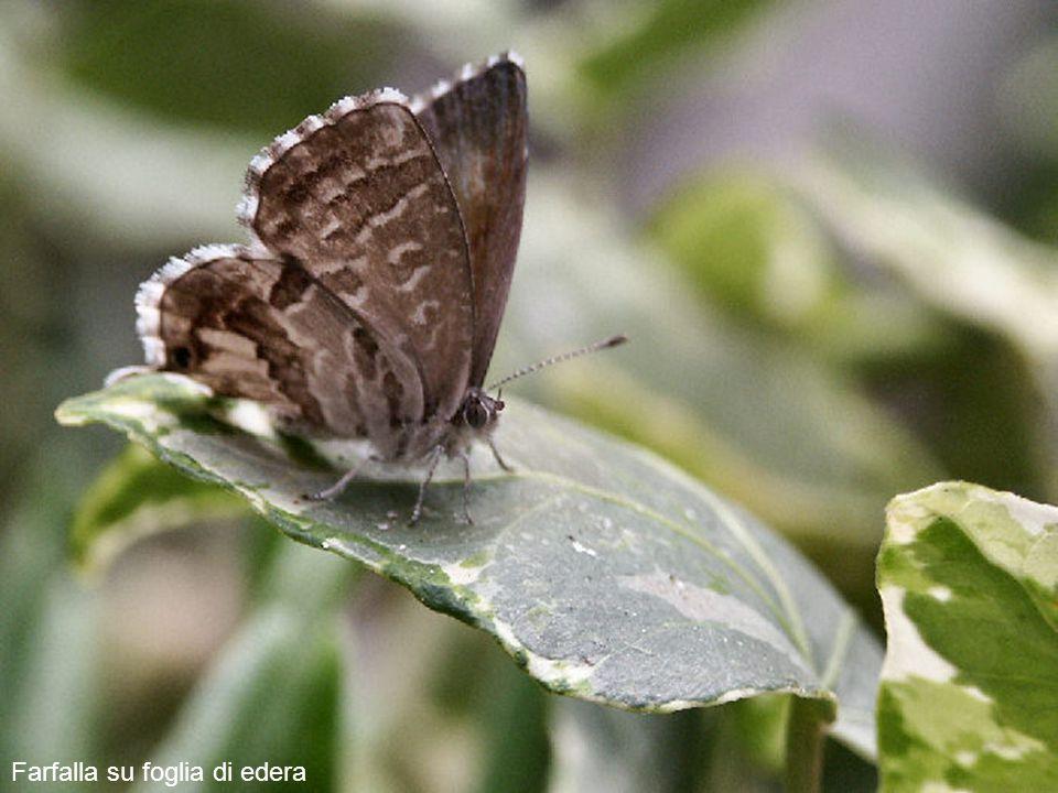 Nel frattempo, e caso abbastanza raro, una farfalla viene a posarsi sulle foglie di edera. Le farfalle sono restie a farsi fotografare, basta un picco
