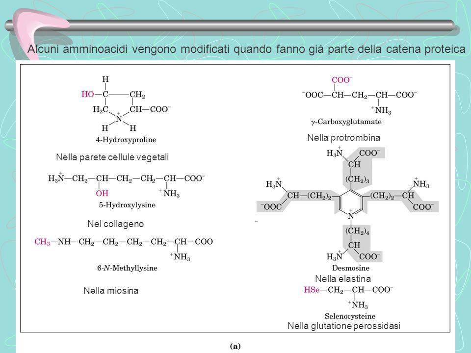 Alcuni amminoacidi vengono modificati quando fanno già parte della catena proteica Nella parete cellule vegetali Nella protrombina Nella miosina Nella