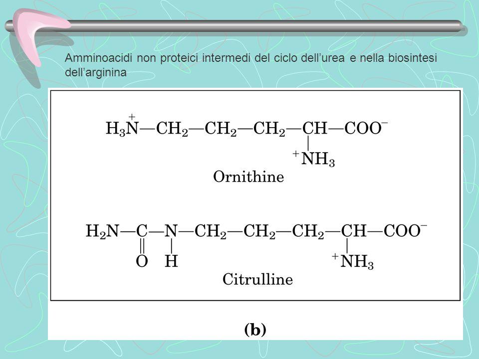 Amminoacidi non proteici intermedi del ciclo dell'urea e nella biosintesi dell'arginina