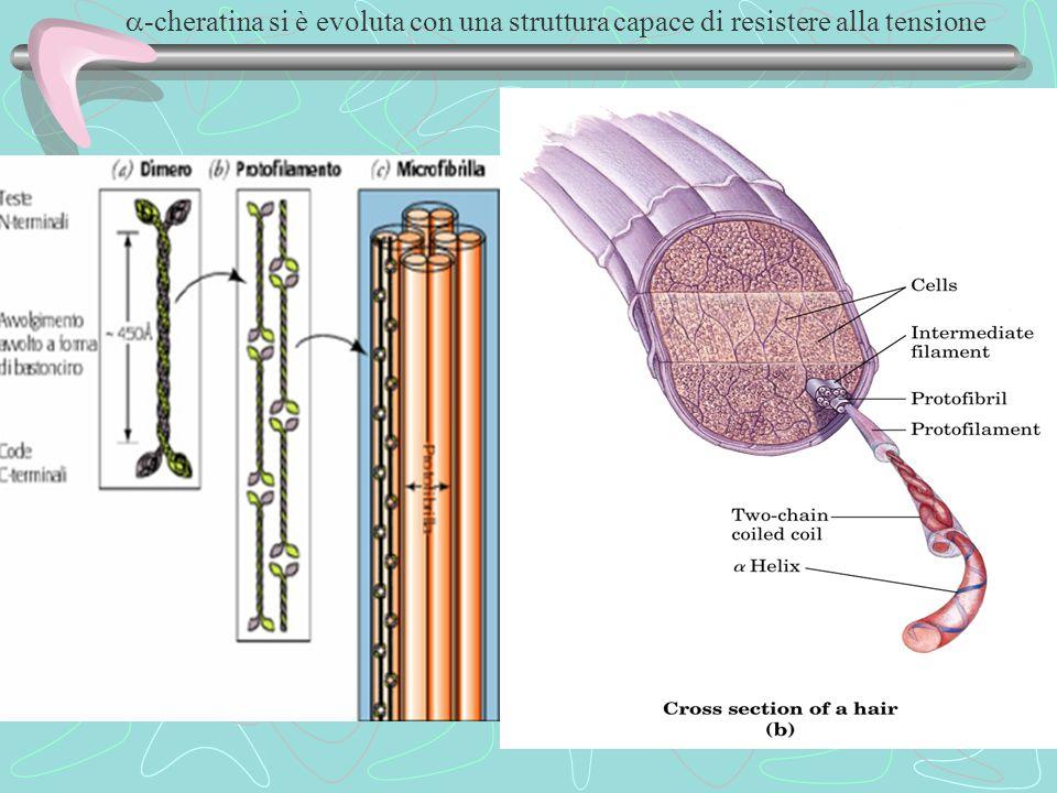  -cheratina si è evoluta con una struttura capace di resistere alla tensione