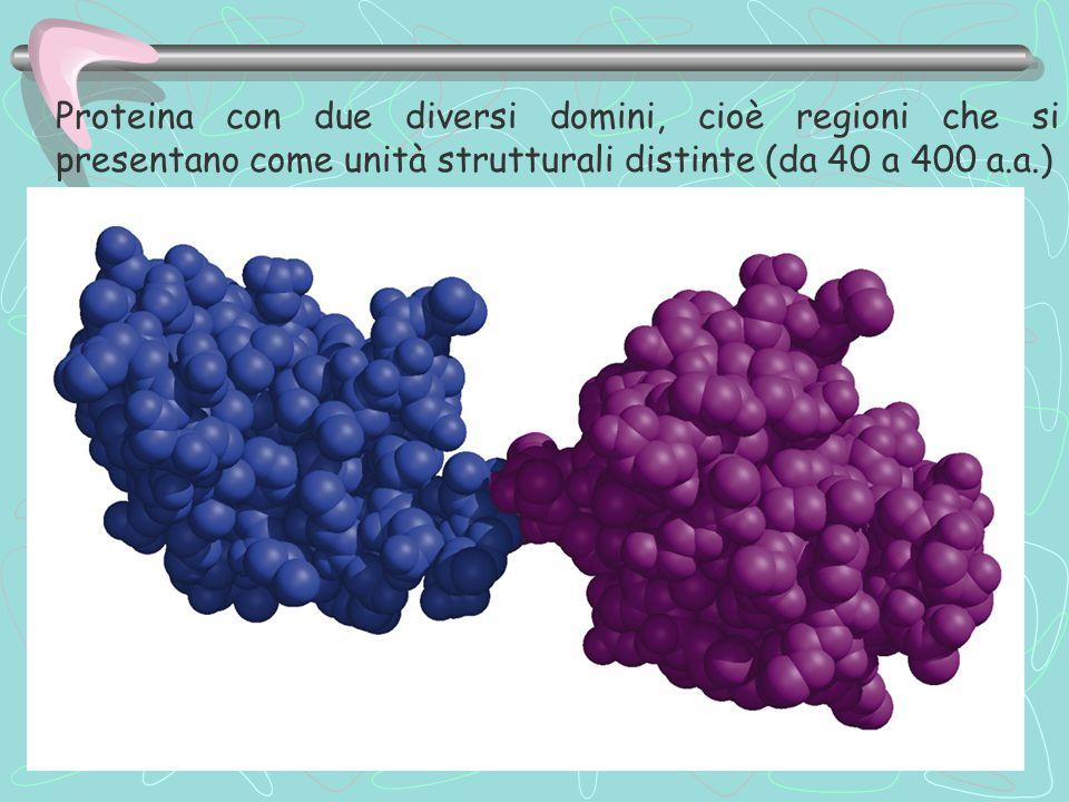 Proteina con due diversi domini, cioè regioni che si presentano come unità strutturali distinte (da 40 a 400 a.a.)