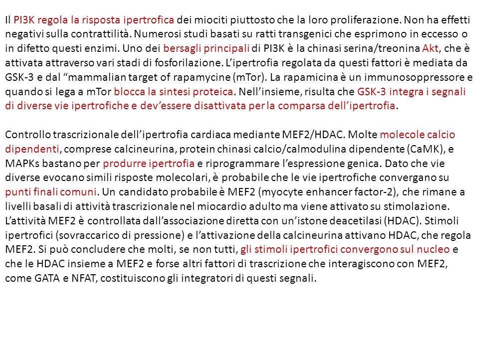 Il PI3K regola la risposta ipertrofica dei miociti piuttosto che la loro proliferazione.