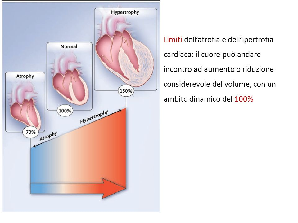 Limiti dell'atrofia e dell'ipertrofia cardiaca: il cuore può andare incontro ad aumento o riduzione considerevole del volume, con un ambito dinamico del 100%