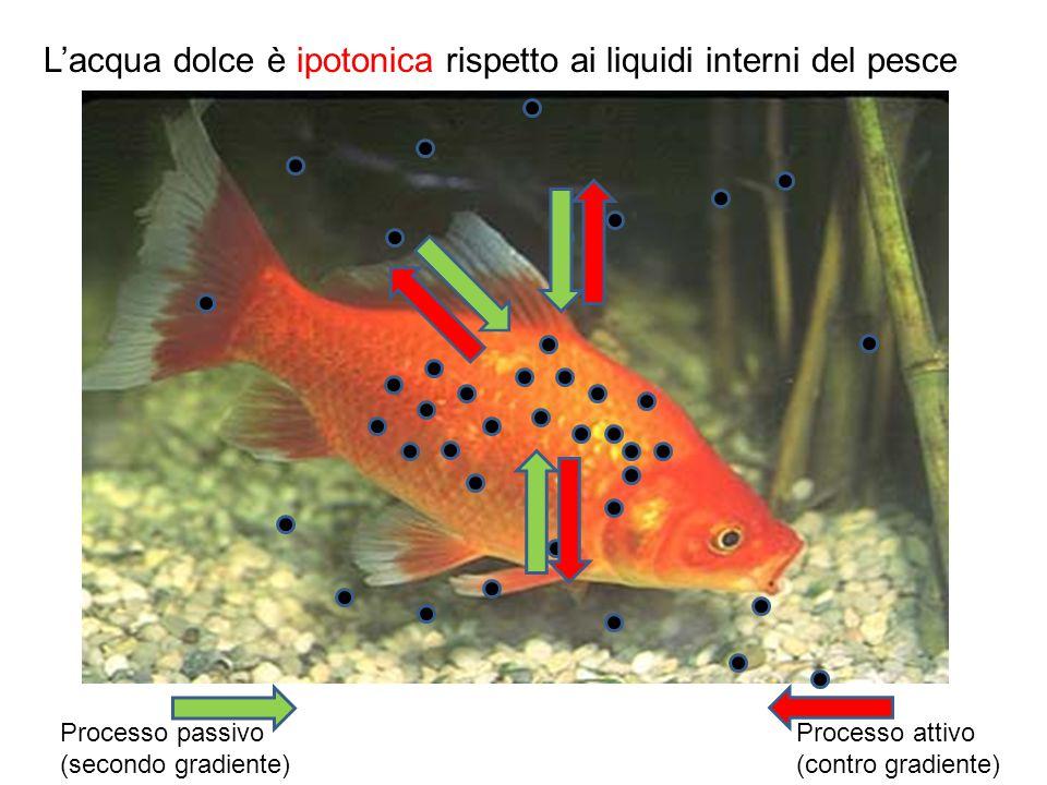 Processo passivo (secondo gradiente) Processo attivo (contro gradiente) L'acqua dolce è ipotonica rispetto ai liquidi interni del pesce