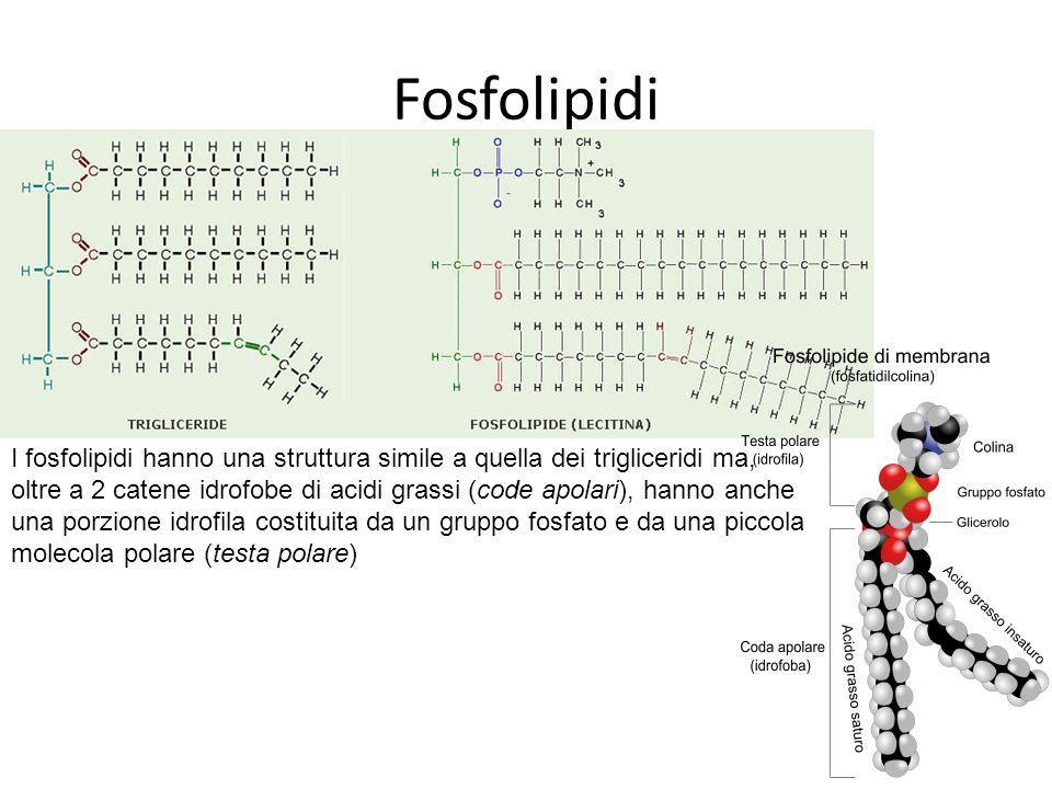 Fosfolipidi I fosfolipidi hanno una struttura simile a quella dei trigliceridi ma, oltre a 2 catene idrofobe di acidi grassi (code apolari), hanno anche una porzione idrofila costituita da un gruppo fosfato e da una piccola molecola polare (testa polare)