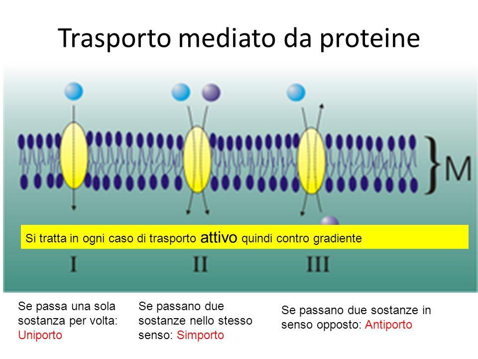 Trasporto mediato da proteine Se passa una sola sostanza per volta: Uniporto Se passano due sostanze nello stesso senso: Simporto Se passano due sostanze in senso opposto: Antiporto Si tratta in ogni caso di trasporto attivo quindi contro gradiente