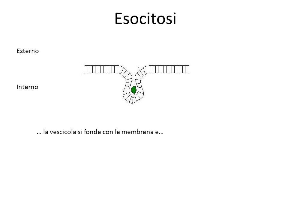 Esocitosi … la vescicola si fonde con la membrana e… Esterno Interno