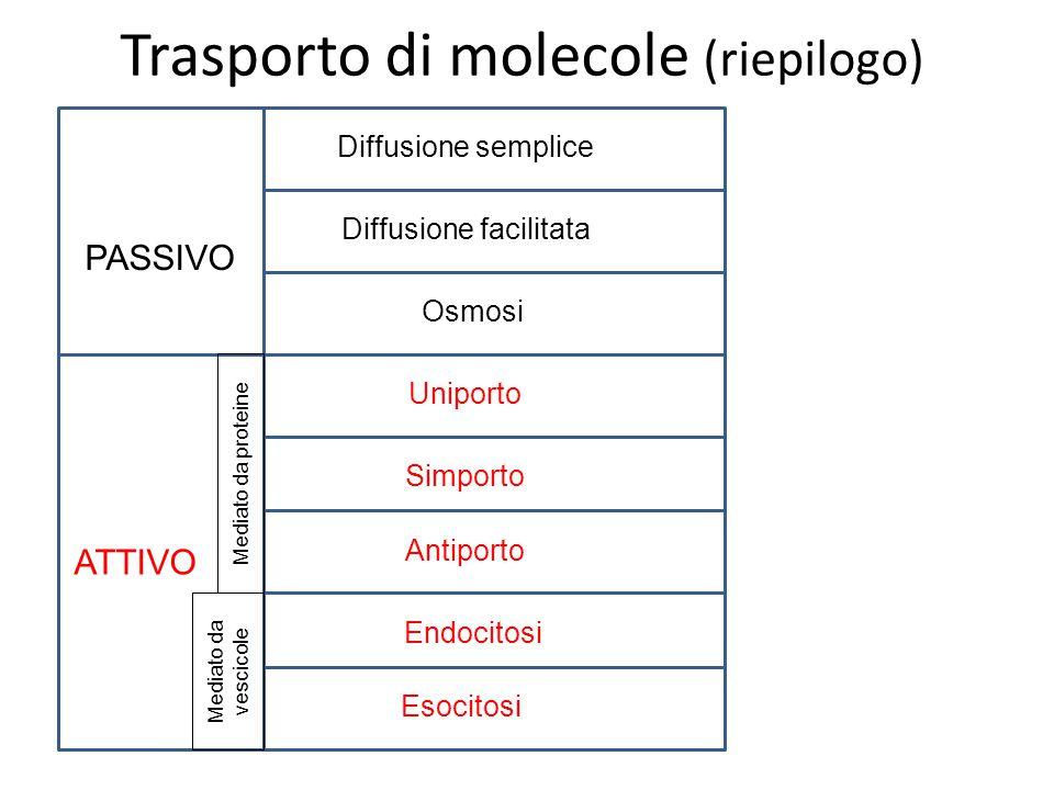Trasporto di molecole (riepilogo) PASSIVO ATTIVO Diffusione semplice Diffusione facilitata Osmosi Uniporto Simporto Endocitosi Esocitosi Antiporto Mediato da vescicole Mediato da proteine