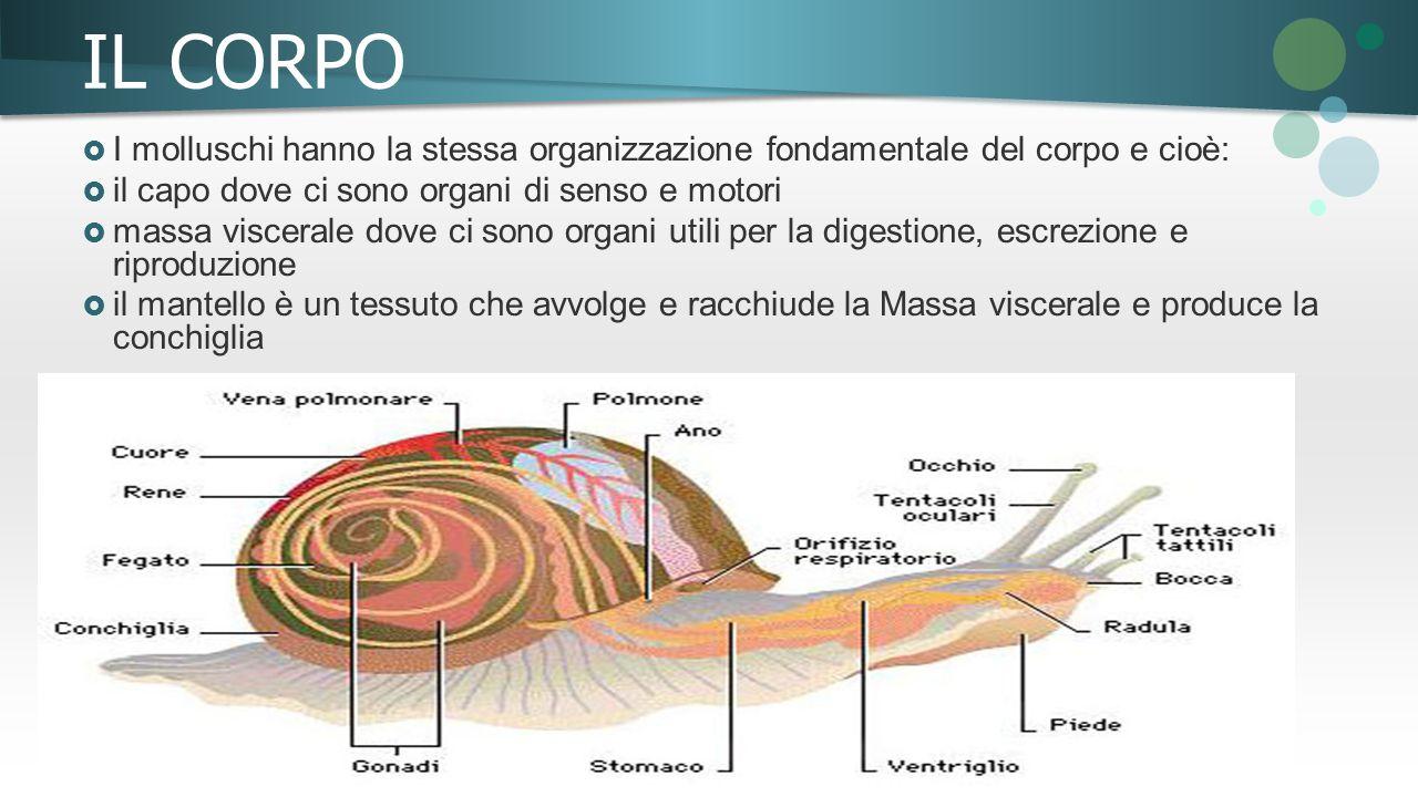 IL CORPO  I molluschi hanno la stessa organizzazione fondamentale del corpo e cioè:  il capo dove ci sono organi di senso e motori  massa viscerale