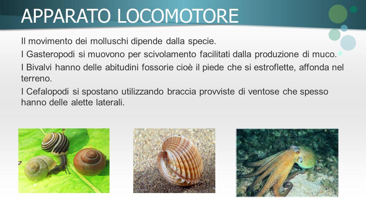 APPARATO LOCOMOTORE Il movimento dei molluschi dipende dalla specie. I Gasteropodi si muovono per scivolamento facilitati dalla produzione di muco. I