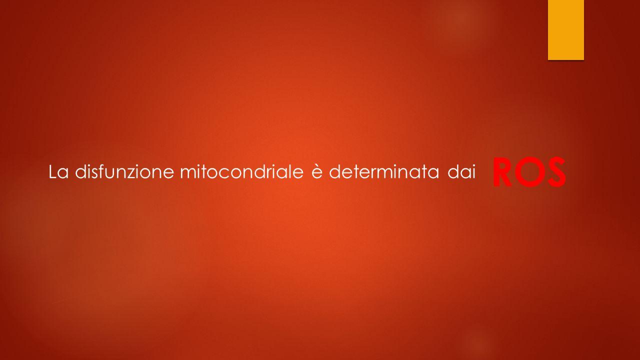 La disfunzione mitocondriale è determinata dai ROS