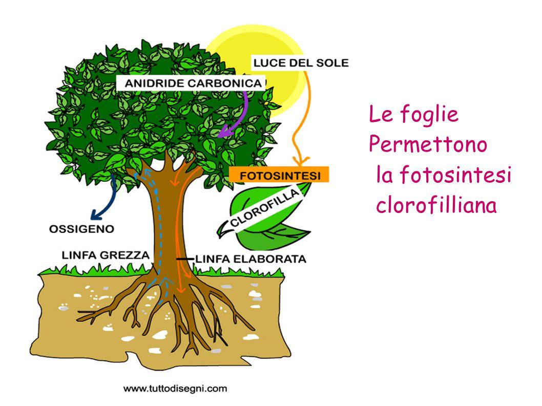 –Apice –Margine –Base –Nervatura primaria –Nervatura secondaria - Il Picciolo - La Guaina Come è fatta una foglia?