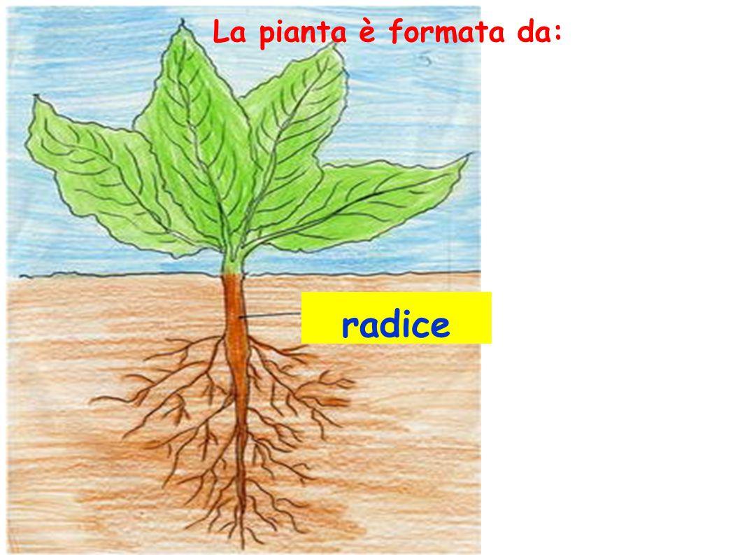 Il sistema aereo (che emerge dal terreno) Il sistema radicale (che si dirama sottoterra) Gli alberi sono caratterizzati da due sistemi principali: