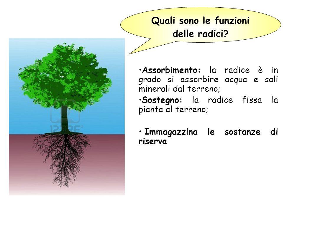 radice La pianta è formata da: