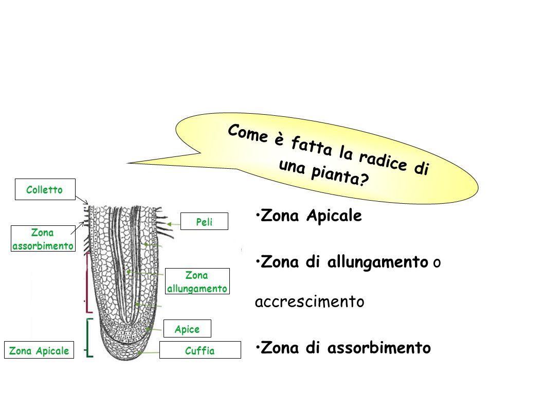 Quali sono le funzioni delle radici? Assorbimento: la radice è in grado si assorbire acqua e sali minerali dal terreno; Sostegno: la radice fissa la p