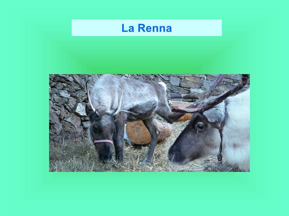 La caccia alle renne selvatiche e l allevamento di renne per la carne, il cuoio, i palchi, il latte e i trasporti rappresentano attività molto importanti per alcune popolazioni artiche e subartiche.