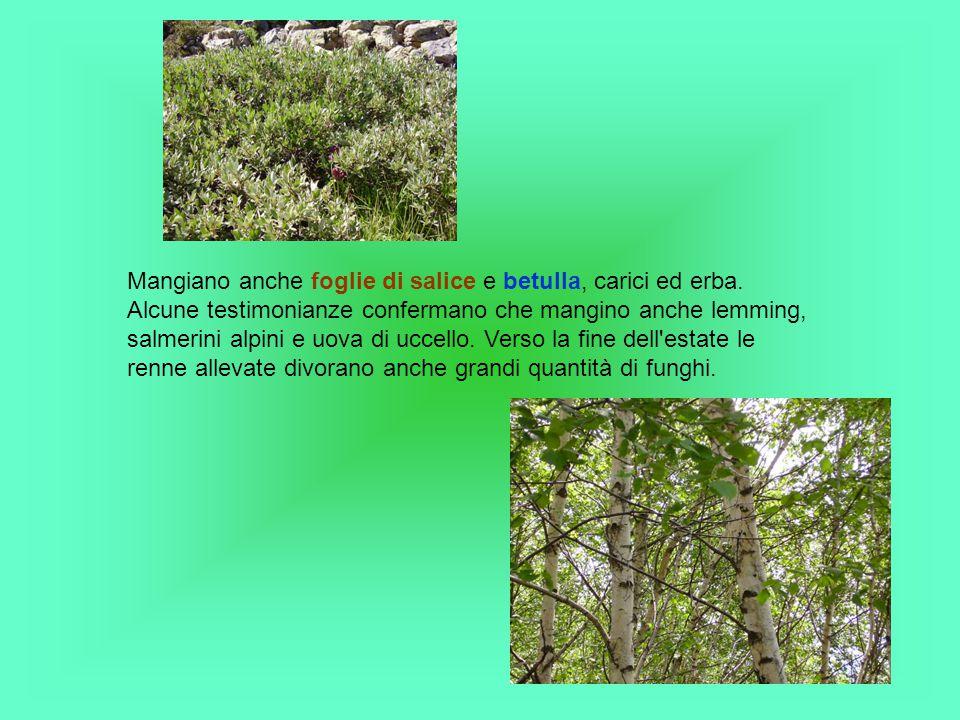 Mangiano anche foglie di salice e betulla, carici ed erba.