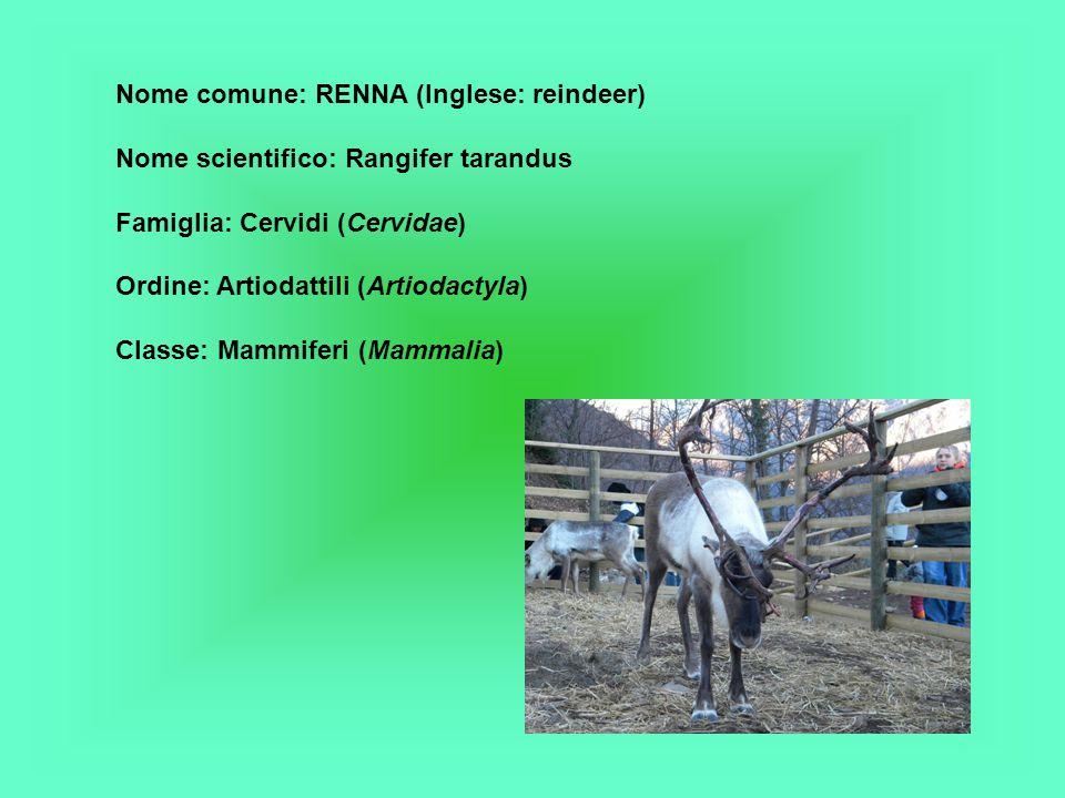Nome comune: RENNA (Inglese: reindeer) Nome scientifico: Rangifer tarandus Famiglia: Cervidi (Cervidae) Ordine: Artiodattili (Artiodactyla) Classe: Mammiferi (Mammalia)