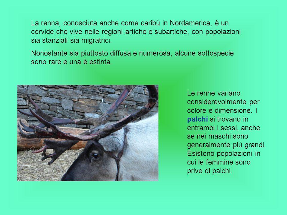 La renna, conosciuta anche come caribù in Nordamerica, è un cervide che vive nelle regioni artiche e subartiche, con popolazioni sia stanziali sia migratrici.