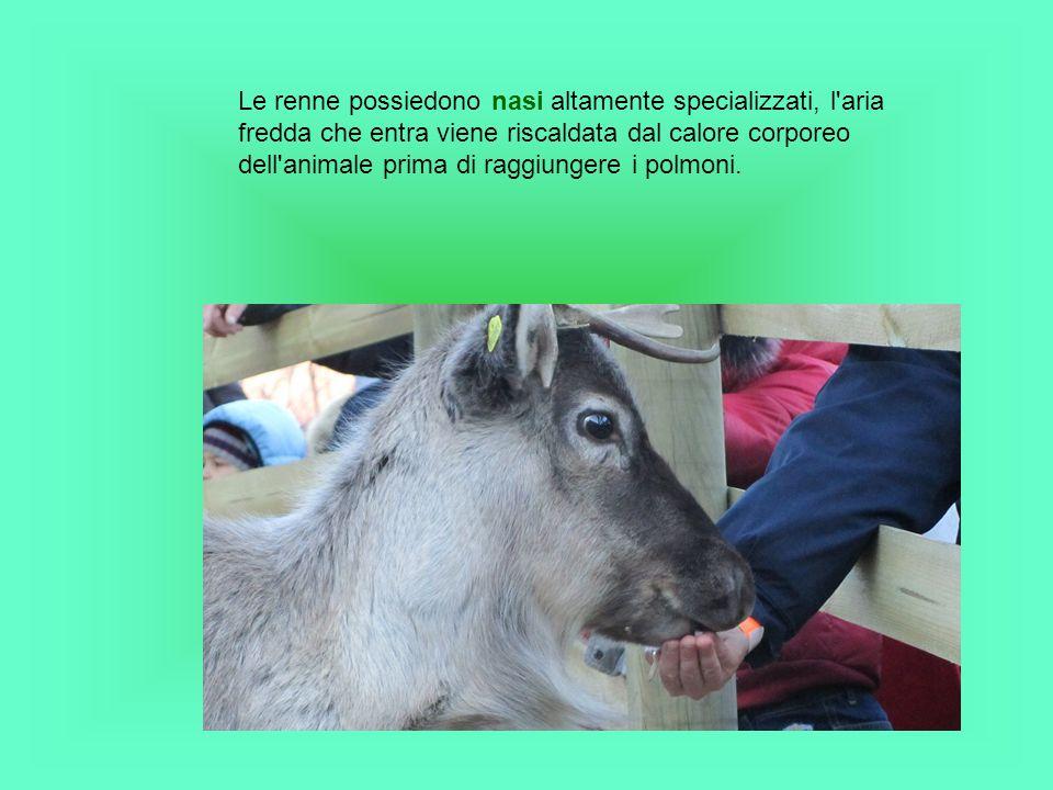 Gli studiosi ritengono che le renne siano gli unici mammiferi in grado di vedere la luce ultravioletta.