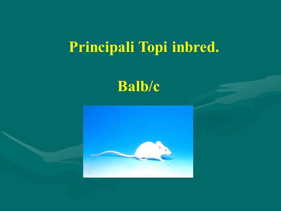 Principali Topi inbred. Balb/c