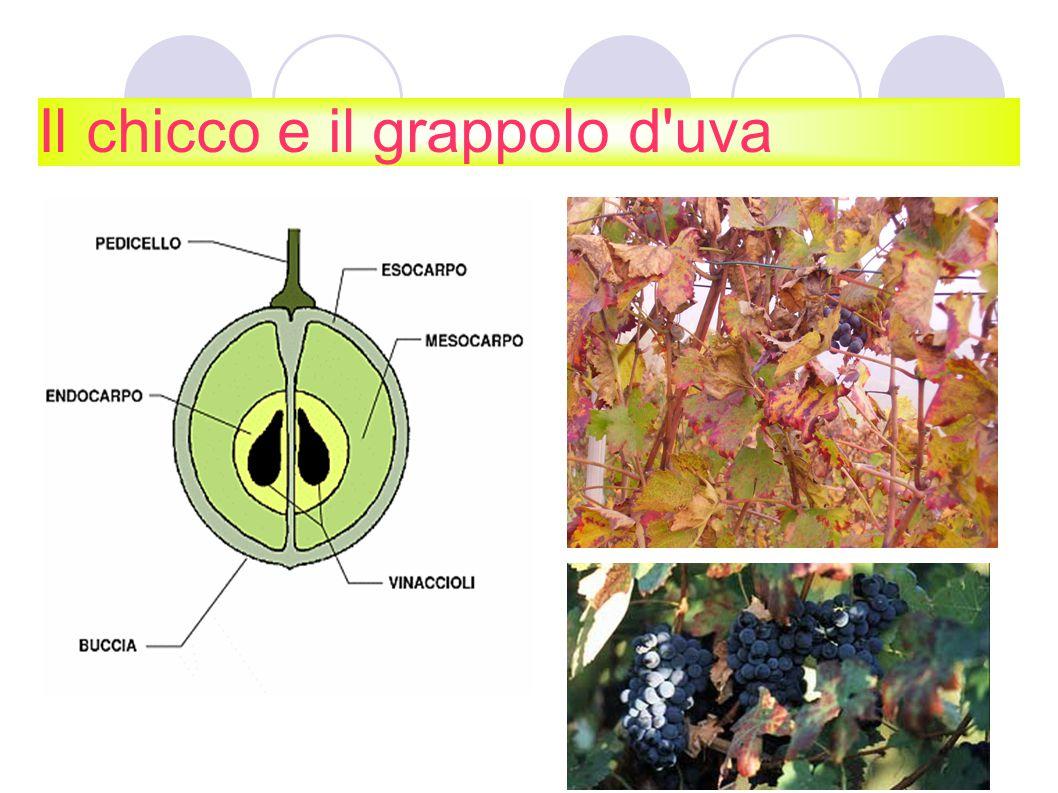 Il chicco e il grappolo d uva