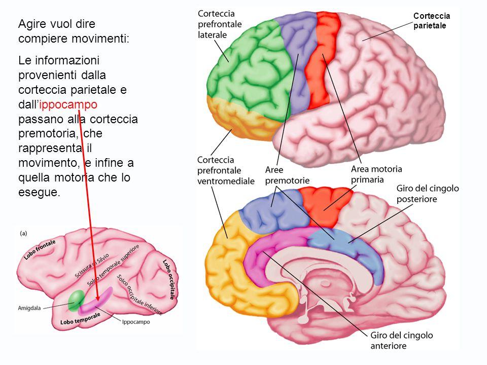 Agire vuol dire compiere movimenti: Le informazioni provenienti dalla corteccia parietale e dall'ippocampo passano alla corteccia premotoria, che rappresenta il movimento, e infine a quella motoria che lo esegue.
