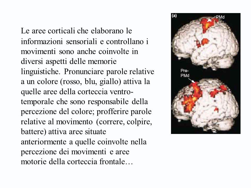 Le aree corticali che elaborano le informazioni sensoriali e controllano i movimenti sono anche coinvolte in diversi aspetti delle memorie linguistich