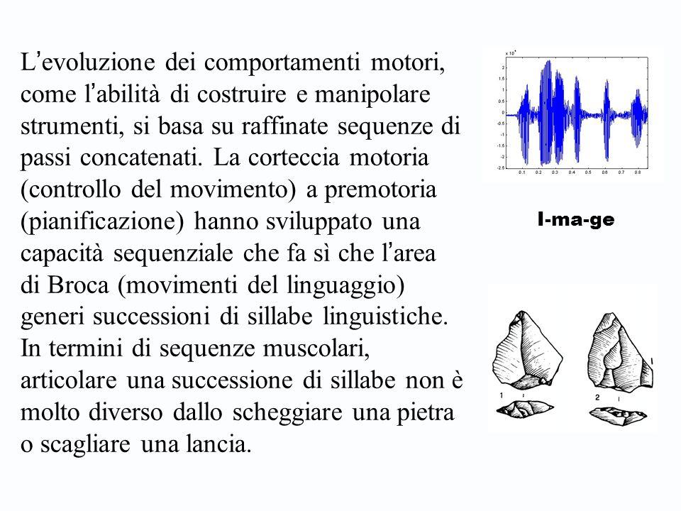 L ' evoluzione dei comportamenti motori, come l ' abilità di costruire e manipolare strumenti, si basa su raffinate sequenze di passi concatenati.
