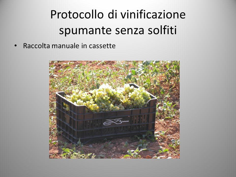Protocollo di vinificazione spumante senza solfiti Raccolta manuale in cassette