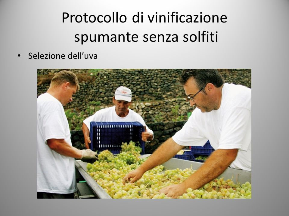 Protocollo di vinificazione spumante senza solfiti Selezione dell'uva