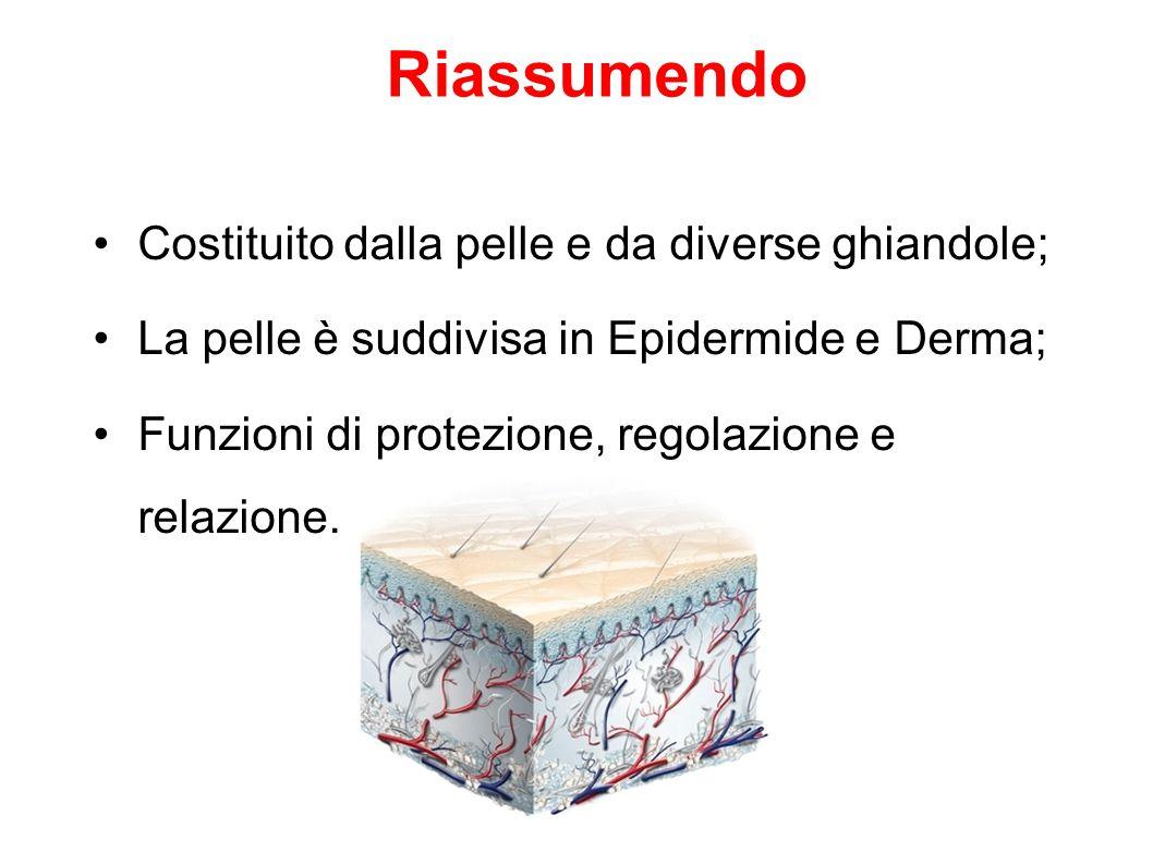 Costituito dalla pelle e da diverse ghiandole; La pelle è suddivisa in Epidermide e Derma; Funzioni di protezione, regolazione e relazione. Riassumend