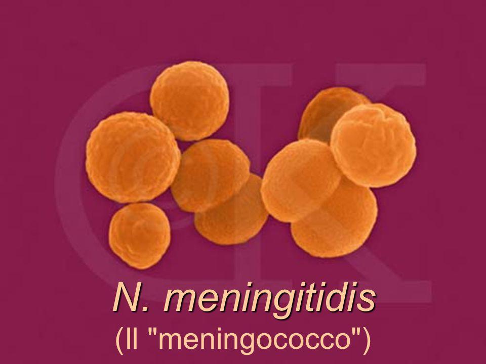 N. meningitidis N. meningitidis (Il meningococco )