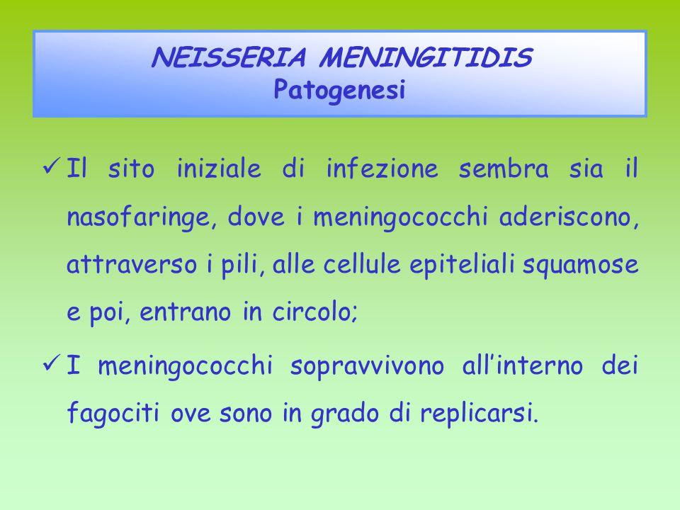 Il sito iniziale di infezione sembra sia il nasofaringe, dove i meningococchi aderiscono, attraverso i pili, alle cellule epiteliali squamose e poi, entrano in circolo; I meningococchi sopravvivono all'interno dei fagociti ove sono in grado di replicarsi.