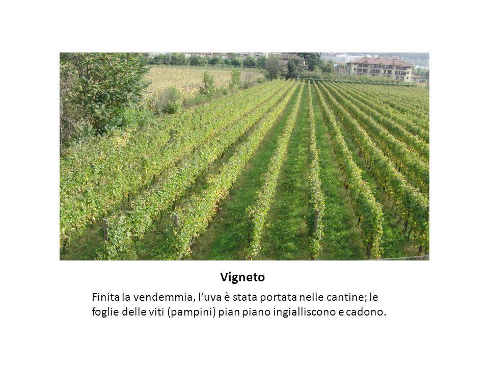 Vigneto Finita la vendemmia, l'uva è stata portata nelle cantine; le foglie delle viti (pampini) pian piano ingialliscono e cadono.