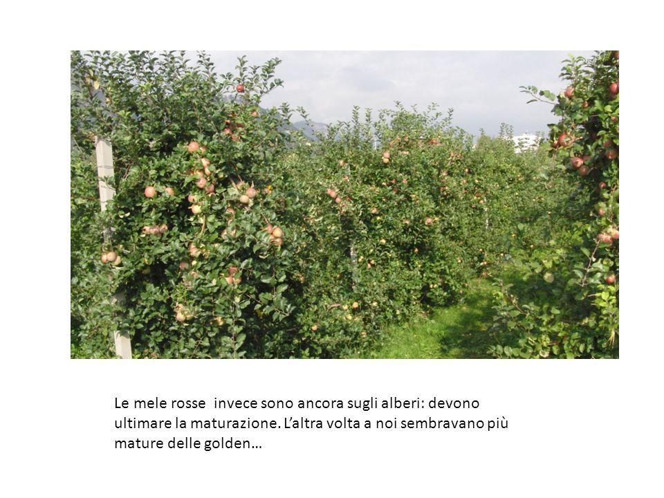Le mele rosse invece sono ancora sugli alberi: devono ultimare la maturazione. L'altra volta a noi sembravano più mature delle golden…