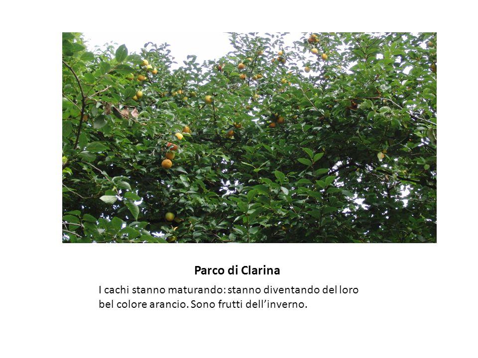 Parco di Clarina I cachi stanno maturando: stanno diventando del loro bel colore arancio. Sono frutti dell'inverno.