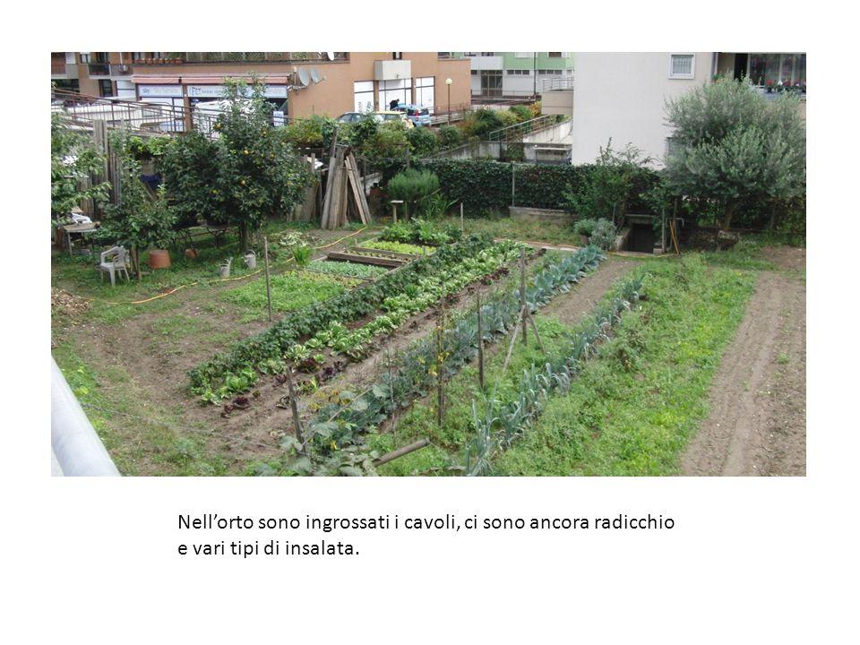 Nell'orto sono ingrossati i cavoli, ci sono ancora radicchio e vari tipi di insalata.