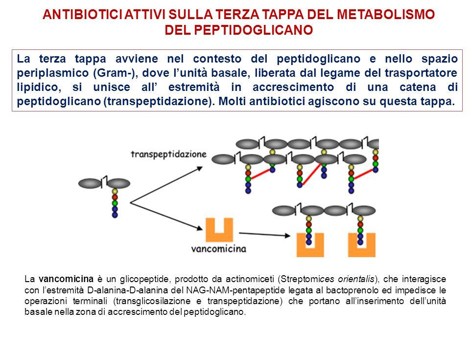 La vancomicina è un glicopeptide, prodotto da actinomiceti (Streptomices orientalis), che interagisce con l'estremità D-alanina-D-alanina del NAG-NAM-